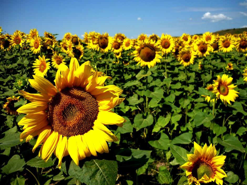 Genomics of Sunflower   Genomics Entrepreneurship