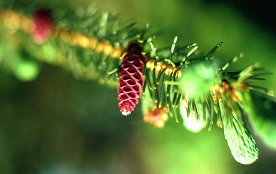 white_spruce