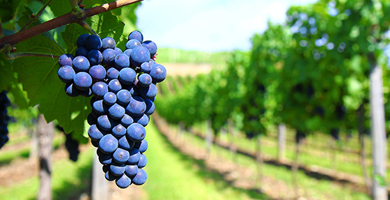 grapes560